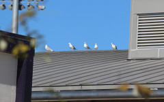 Seagulls return to the Plaza